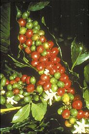 Kaffeekirschen mit Blüte